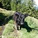 Dieses Rind ist schlecht gelaunt und startet den Angriff