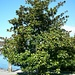 Planzen wie im Süden: Grossblütige Magnolie (Magnolia grandiflora) in Vitznau. Der Baum ist eigentlich heimisch im Süden der USA.