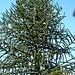 Planzen wie im Süden: Araukarie (Araucaria araucana) in Vitznau. Der exotische Baum ist eigentlich heimisch im Bergland von Chile und Argentinien