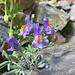 Linaria alpina.