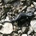 Schwarze Bergsalamander - nach 2-3 Jahren kommen die voll entwickelten Jungen zur Welt
