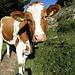 die Kuh schaut zwar neugierig, geht aber keinen Meter zur Seite...