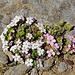 Alpen-Mannsschild  Androsace alpina
