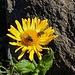 Doronicum, Insektenweide