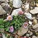 Alpenberufskraut    Erigeron alpinus  und ein roter Ausläufer der kriechenden Nelkenwurz