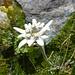 Edelweiss am Wegrand