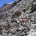 Einer aus der Steinbockkolonie in den sehr steinigen Flanken der Diablons