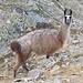 Ein Bristen-Lama.