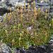 Diapensia (Diapensia lapponica)<br />Fjällgröna