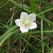 Parnassia palustris L.<br />Celastraceae (incl. Saxifragaceae)<br /><br />Parnassia.<br />Parnassie des marais.<br />Sumpf-Herzblatt.