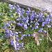Campanula cochlearifolia Lamm.<br />Campanulaceae<br /><br />Campanula dei ghiaioni.<br />Campanule naine.<br />Niedliche Glockenblume.