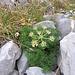 Athamanta cretensis L.<br />Apiaceae<br /><br />Atamanta comune.<br />Athamante de Crète.<br />Augenwurz.