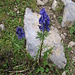 Aconitum compactum (Rchb.) Gàyer<br />Ranunculaceae<br /><br />Aconito napello.<br />Aconit compact.<br />Blau-Eisenhut.