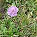 Scabiosa lucida Vill.<br />Caprifoliaceae (incl. Dipsacaceae)<br /><br />Vedovina alpestre.<br />Scabieuse luisante.<br />Glänzende Skabiose.