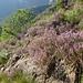 Eriche in fiore lungo la mulattiera che scende dall'Alpe Lut