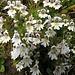 Wiesen-Augentrost (Euphrasia rostkoviana) oder Berg-Augentrost (Euphrasia rostkoviana subsp. montana)