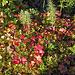 Unterwegs die Blätter der Moltebeere und die ungeniessbaren Beeren des schwedischen Hartriegels