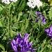 seltene Kombination: Schwarze Schafgarbe und (Mont-Cenis- oder Büschel)-Glockenblume (?)