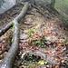 Typische Rippenkraxelei über Wurzeln und Altholz, links und rechts stets leicht ausgesetzt (Vorsicht bei Nässe und Glätte).