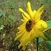 ...Sonnenblumen gibt es hier