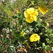 Potentilla grandiflorum L.<br />Rosaceae<br /><br />Cinquefoglie trifogliata.<br />Potentille à grandes fleurs.<br />Grossblütiges Fingerkraut.<br />