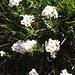 Achillea erba-rotta subsp. moschata (Wulfen) Vacc.<br />Asteraceae<br /><br />Millefoglio del granito.<br />Achilée musquée.<br />Moschus Schafgarbe.