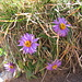 Aster alpinus L.<br />Asteraceae<br /><br />Astro alpino.<br />Aster des Alpes.<br />Alpin-Aster.