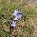 Campanula barbata L.<br />Campanulaceae<br /><br />Campanula barbata.<br />Campanule barbue.<br />Bärtige Glockenblume.