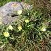 Hieracium intybaceum All.<br />Asteraceae<br /><br />Sparviere viscoso.<br />Epérviere à feuilles de chicorée.<br />Weissliches Habichtskraut.