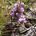 Gentiana ramosa Hegetsch.<br />Gentianaceae<br /><br />Genziana ramosa.<br />Gentiane rameuse.<br />Reichästiger Enzian.