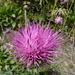 Cardo dentellato (Carduus defloratus)