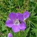 Geranio selvatico (Geranium sylvaticum)