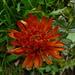 Sparviere aureo (Hieracium aurantiacum)<br />