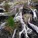 Unterwegs findet man viele Baumreste, die im Torf vergraben waren, und offensichtlich noch aus der Zeit stammen, als die schottischen Taeler mit dichten Waeldern bedeckt waren.
