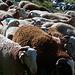 L'allevamento di ovini è molto più diffuso che sulle Alpi