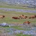 Dove c'erano i Lacs des Aires ora pascolano i bovini