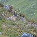Marmotta pirenaica