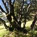 Und immer wieder... Der schöne Baum oberhalb Schwanten