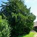 Das muss man gesehen haben: die ca. 1000-jährige Eibe im Gärstler. Vermutlich der älteste Baum der Schweiz