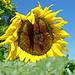 Sonnenblume 1 bei Rotebaum