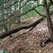 Kleeweidpfad: Kurz nach dem Einstieg am Waldrand (Aussichtspunkt mit vier Bänken) geht es links anhaltend (alle Richtungsangaben in Gehrichtung) über einen liegenden Baumstamm auf den Kamm der Rippe.
