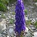 Flora pirenaica