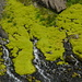 Muschio islandese verdissimo