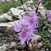 Garofano di bosco (Dianthus monspessulanus).