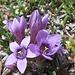 Genzianella germanica (Gentianella germanica).