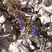 Phyteuma orbiculare L.<br />Campanulaceae<br /><br />Raponzolo orbicolare.<br />Raiponce orbiculaire.<br />Rundkoepfige Rapunzel.