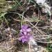 Gentiana germanica Wild.<br />Gentianaceae<br /><br />Genziana germanica.<br />Gentiane d'Allemagne.<br />Deutscher Enzian.