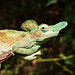 Merke: Je höher der Gecko wohnt, desto mehr Hörner hat er (offensichtlich)