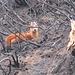 Die selten Duiker-Antilope. Ihr Pech, unser Glück: Sie versteckt sich sonst in der üppigen Vegetation und ist kaum zu sehen. Wir haben sie ständig und überall gesehen.