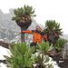 Nächster Tag, auf dem Rückweg. Über Nacht hat's ordentlich geschneit, sodass sich am höchsten Punkt des Tages auf 4450 m die Lobelien in ein Schneekleid hüllen